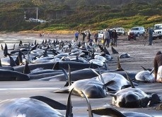 whales-beached_in_tasmania