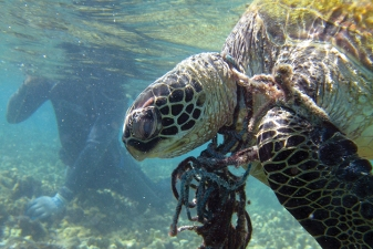 entanglement-greensea-turtle-tangled-net_noaa_720-the-noaa-marine-debris-program-funds-projects