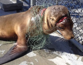 entangled-a sea lion pup, was entangled in fishing line when he was rescued