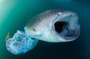 Ingestion - As filter feeders, whale sharks are prone to ingesting waste plastic. Thomas P. Peschak